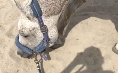 Praca węchowa jako forma rehabilitacji konia